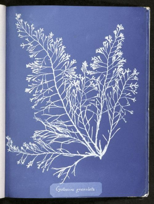 """Cystoseira granulata"" from Cyanotypes of British Algae, Anna Atkins (1843-53). New York Public Library."