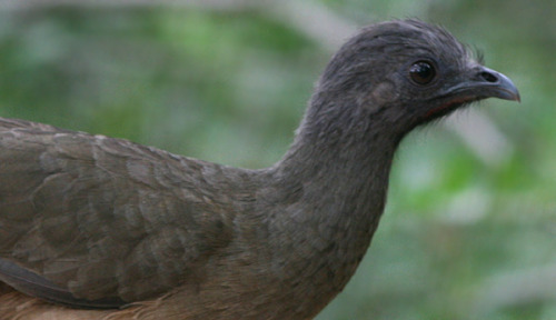 Plain Chachalaca (Ortalis vetula) in the Texas Rio Grande Valley  On a cold day, I like to think about chachalacas and guans. Don't you?