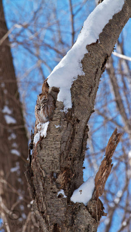 I went for a snowshoe Sunday and my old friend was up in his tree having a snooze. He is such a tiny little featherball that I generally shoot him closer, but I like the scale of this shot with him sitting out on the curve of the tree trunk.