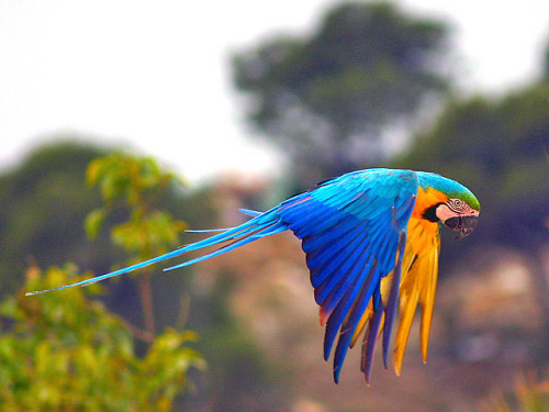 fairy-wren:  blue and yellow macaw (photo by sypix)