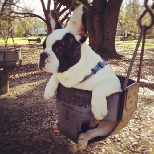dailyfrenchie:  Swing low sweet Otie by Kate  I must have this.