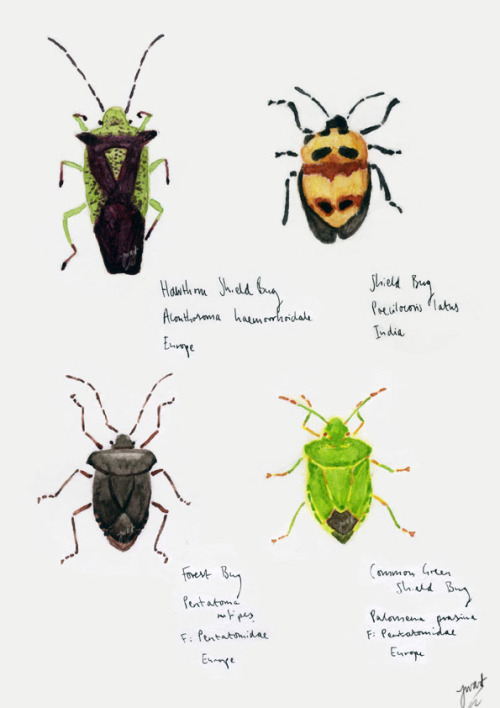 joewardillustration:  Shield Bugs, 2012 (L-R Hawthorne, unspecified Indian, Forest, Common Green) A small selection of shield bugs from the pages upon pages of insects I've been drawing recently. Going for the whole museum collection look. One project aim is to have loads of bugs drawn out to print into a huge piece. This can then be separated out into different individual collections based on species, colour etc. These are really just meant to emphasise intricacy, colour and detail over anything else. (Copyright for these illustrations is mine)