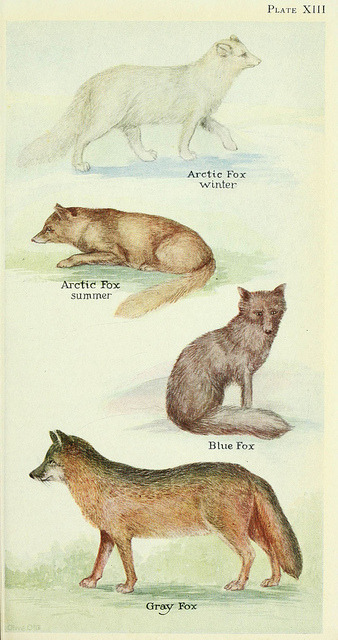 n198_w1150 by BioDivLibrary on Flickr. Arctic Fox, Blue Fox and Gray Fox