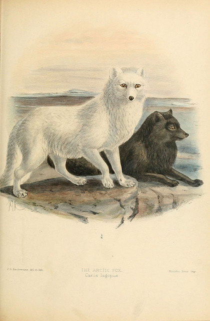 n212_w1150 by BioDivLibrary on Flickr. The Arctic Fox