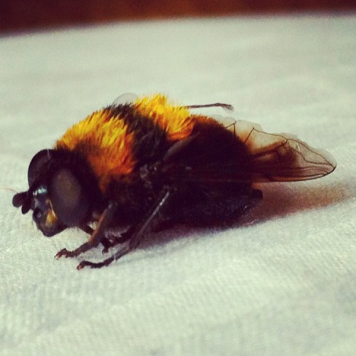 Really dangerous flying thing. #insect #animal #bee #yellow #black #striped #closeup #fly #iphoneonly #wings #hairy (Taken with instagram)