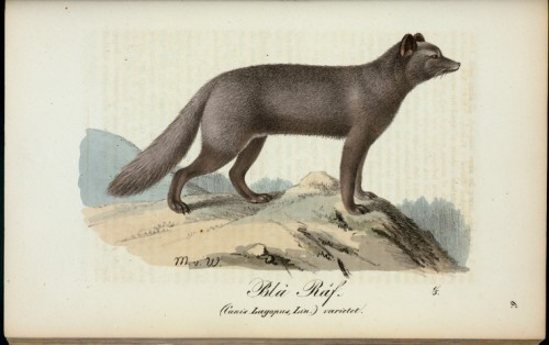 Blà Räf, the Arctic Fox Canis lagopus - now called Vulpes lagopus