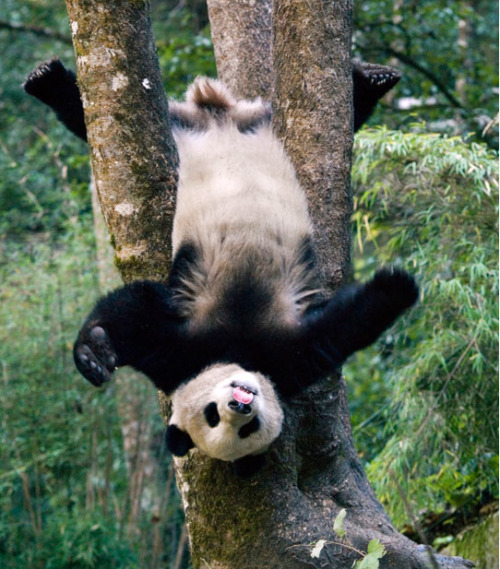 A giant panda cub gets silly for the camera at the Wolong National Nature Reserve in Sichuan, China! What a goof! Why are pandas so damn cute?! I think it's all the eye makeup. It'd be garish on anyone else—but not on you, silly! Photo by Mitsuaki Iwago/Minden/Solent via The Telegraph
