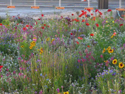 Wildflowers growing by old Children's bookshop site, Victoria Street by Christchurch City Libraries on Flickr. Fill the gaps in Christchurch with flowers.