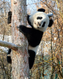 fuckyeahgiantpanda:  Fu Hu at the Vienna Zoo on February 21, 2012. © Norbert Potensky.