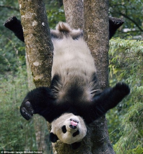 Giant Panda at play, Wolong National Nature Reserve, Sichuan, China (spotted on Hungeree)