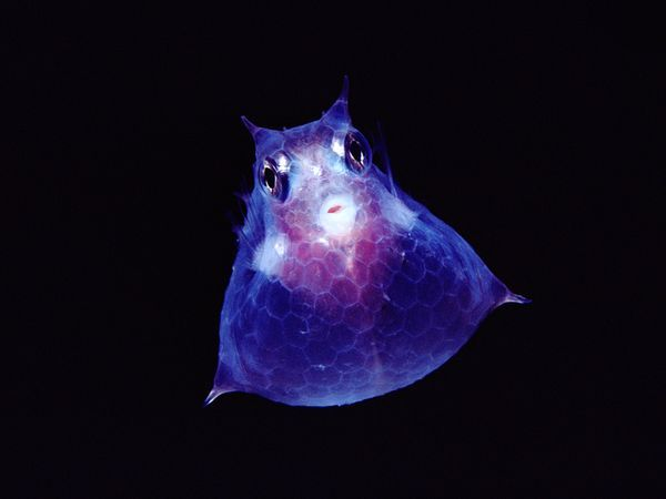 Juvenile cowfish are commonly found in Kona, Hawaii.