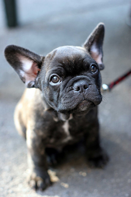 french bulldog pup by Greg Considine on Flickr.