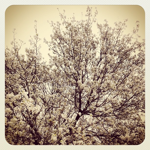 #spring #texas #dallas #flower #2012 #feb #rikfoto #tree #white (Taken with instagram)