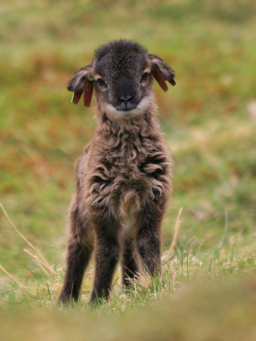 sheepandlamb:  Isn't he precious!??!  He's a Soay lamb from Scotland!