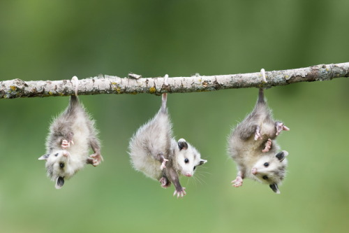 magicalnaturetour:  Baby Opossum Hanging from Branch ~ Image by © Frank Lukasseck / Corbis  :)
