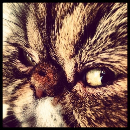 Denby by Lee #angry #cat (Taken with instagram)