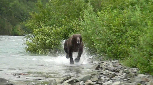 Would you keep still when faced with this male grizzly bear? Sightseers in Alaska were told to do so after they saw him charging…