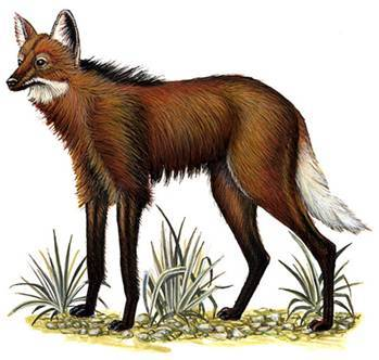 Aguará guazú - The maned wolf (Chrysocyon brachyurus)