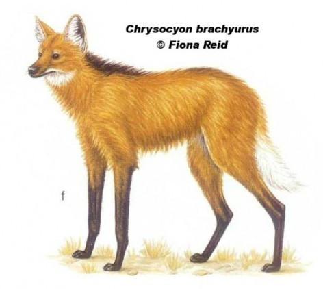 "Aguará guazú (Maned Wolf). From: Redford, K.H. y JF Eisemberg (1992) ""Mammals of the Neotropics. The southern cone"". Vol. 2. Chile, Argentina, Uruguay y Paraguay. 430 pag. Univ. of Chicago Press, Chicago and London."