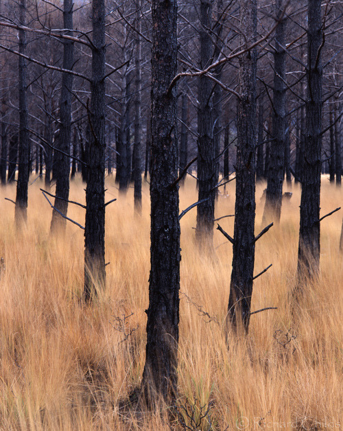 "photographer: Richard Childs ""Among the Trees"" (+) Afterburn, Glen Torridon, Scotland  Fire damaged pine trees below Liathach.  // zetus-lupetus:diamond-lady"