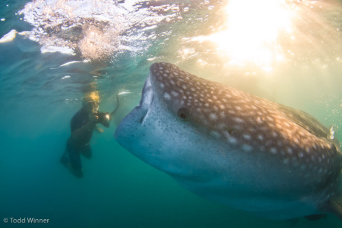 Photographer getting a shot of a whale shark! Taken in La Paz, Mexico By Todd Winner Brought to you by Underwater Photography Guide, the best online resource for divers and underwater photographers.