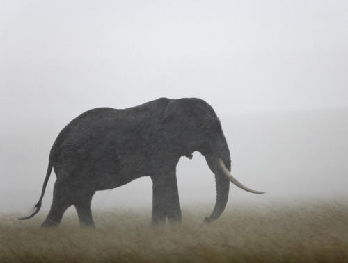 Nearly 450 Elephants Killed in Cameroon Elephants have been slaughtered by groups from Chad and the Sudan in recent weeks, taking advantage of the dry season. keep reading Image Credit: Corbis