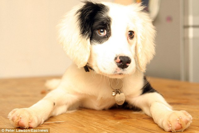 soupsoup:   Puppy dumped for being deaf is given a new home… and learning sign language  Abby, this is for you.