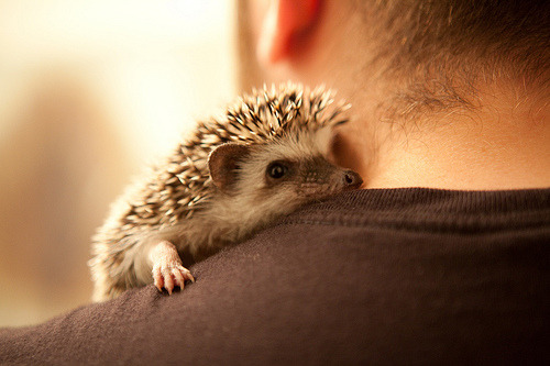 I want a baby hedgehog :c