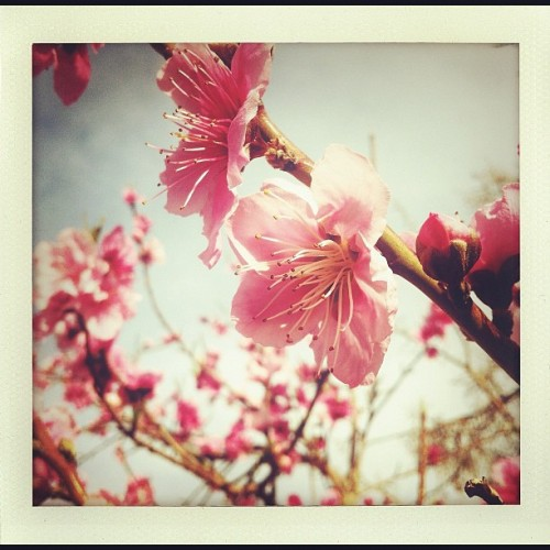 Spring Comes To The Peach Tree. #Shakeitphoto #Spring #PeachTree #Blush #Blossoms #Flora #BlueSky #Pink #Branches #Bloom  (Taken with Instagram at Red Rock Bungalow)