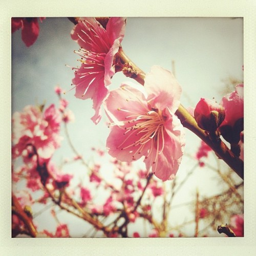 Spring comes to the peach tree. #Bloom #Blossom #peachtree #Pink #shakeitphoto #Branches #Blush #Flora #bluesky #PeachBlossoms (Taken with Instagram at Red Rock Bungalow)