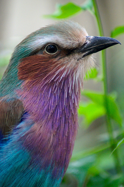 lovenature:  Lilac-breasted Roller by Susie Sparkle