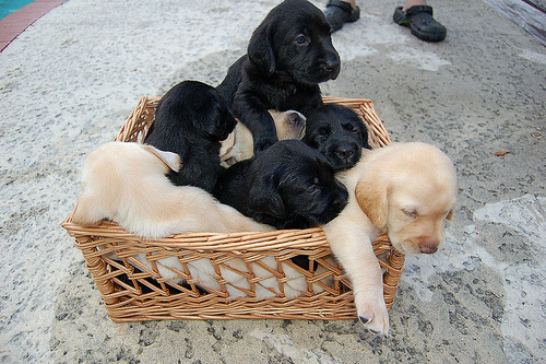 PUPPIES IN A BASKET Does this photo mean that this happens in real life? BECAUSE IF SO THEN THAT IS EXTREMELY YAY.