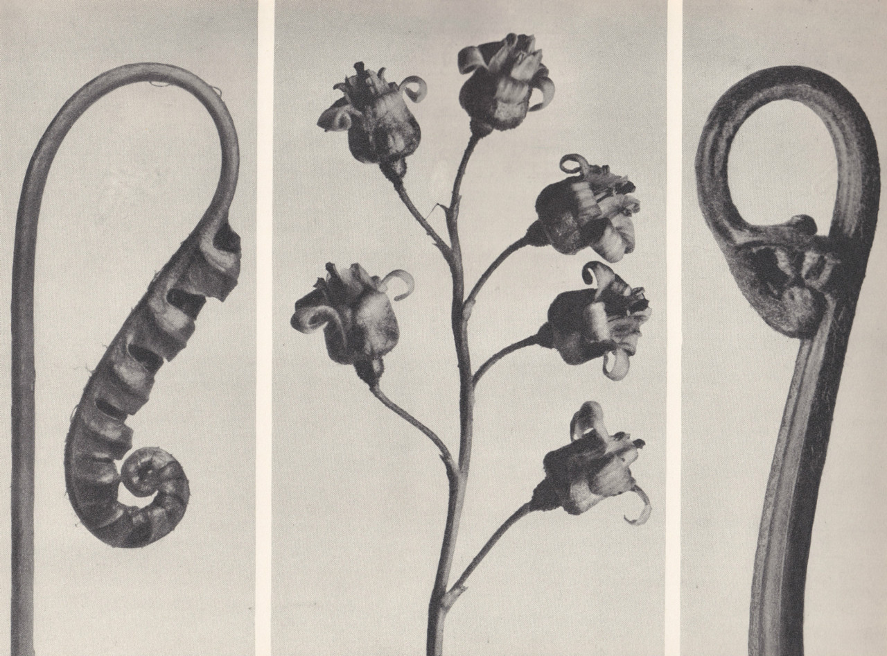 venusmilk:  Karl Blossfeldt gravure from 1928 Rare First Edition of Urformen Der Kunst.  This book is worth a look, if you ever get a chance. It's oddly spooky.