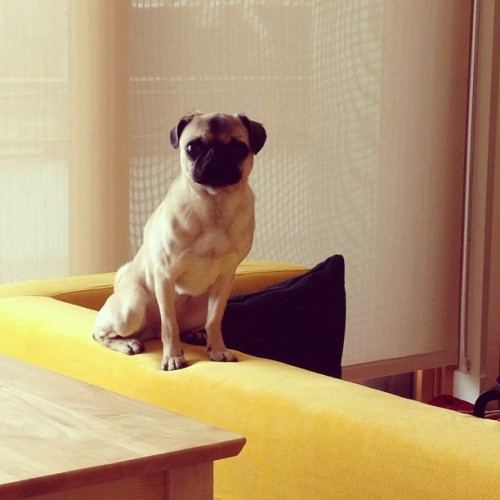Pearl the pug digs doing the watchdog thing from atop the new couch. (Taken with instagram)