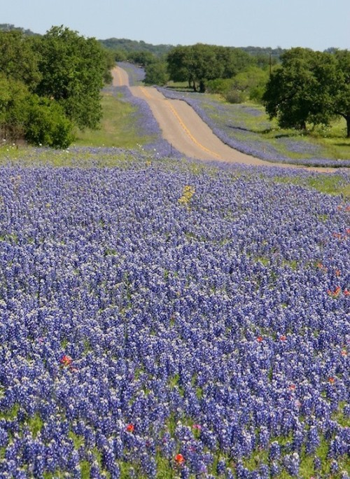 justcallmegrace:  Texas Bluebonnets along the highway in spring.