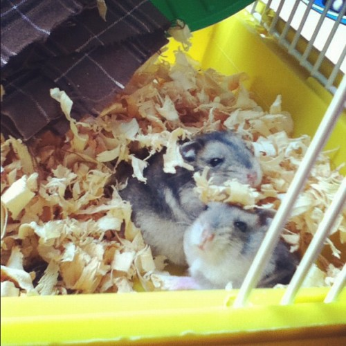 Bernardo & Bianca, but Bianca is gone now 😪 #instapet #instagood #hamster #instalove #instagram #picoftheday #igers #igersgoias #igersbrasil #cute  (Taken with instagram)