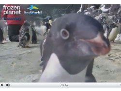 "discoverynews:  Penguins Live and Chatty All Day  Yes, yesterday there were baby polar bear cams, and there are panda cams, and now a penguin cam!!! This live video of the ""Penguin Encounter"" at SeaWorld San Diego is fascinating. I just watched them eat, and one of them get up and close and personal with the cam. (see above)  Live Q&A sessions happen every Monday from noon to 12:30 p.m. ET starting Monday, March 19. Boookmark it, Tumblr!"