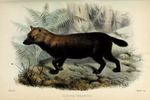 A bush dog (Speothos venaticus) From: On the bush-dog (Icticyon venaticus, Lund.) by William Henry Flower Proceedings of the Zoological Society of London, 1880
