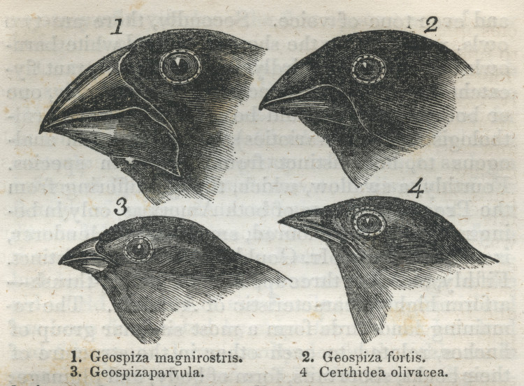anticipatedstranger:  Illustration of Galapagos Archipelago finches.