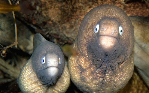 daxsymbiont:   White Eyed Moray Eels. By: Lea's UW Photography    #they've seen some shit