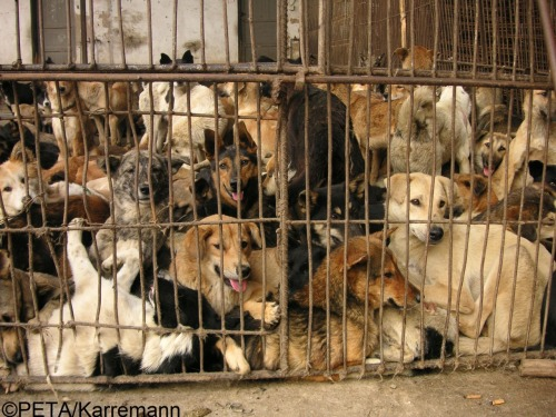 Fur Fact: In China, more than 2 million cats and hundreds of thousands of dogs are bludgeoned, hanged, bled to death, and often skinned alive for their fur. Learn more about the cruel fur industry and how you can HERE.
