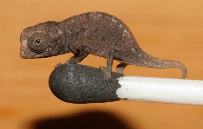 it's so tiny and cute and I just want it. (via Pictures: Miniature Chameleons Discovered—Fit on Match Tip)