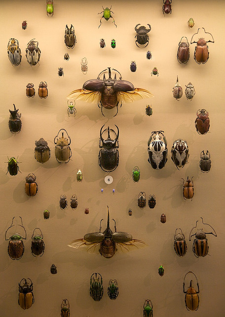 Scarab Beetles (by etee on Flickr)