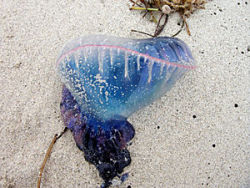 Thousands of Man-of-War Wash up on South Padre Island  As Spring Break approaches, many college students have set their sights on spending the week at the beach, but they may be surprised at what they find there.