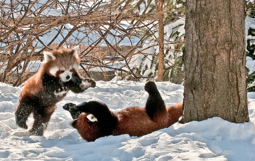 worldlyanimals:  Red Pandas at play - Detroit Zoo 6 by C E Andersen on Flickr.