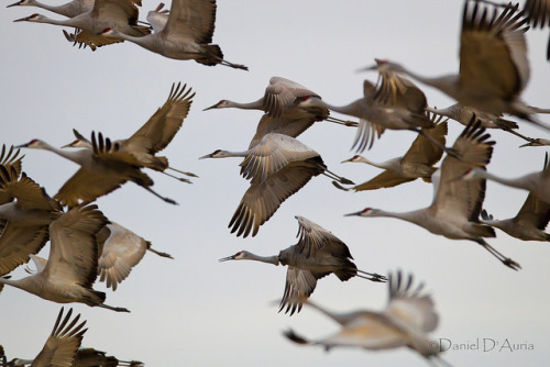 Sandhill Flock (Grus canadensis) 7284digimarcopyright by Dr DAD (Daniel A D'Auria MD) on Flickr.