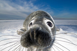 guardian:   Grey seal, by Mark Smith. British Wildlife Photography awards is now open for entries Photograph: Mark Smith/BWPA