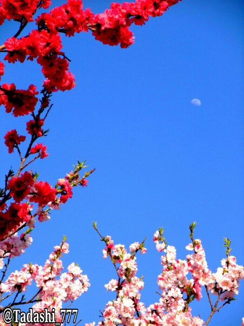 A half moon in the Japanese blue sky.