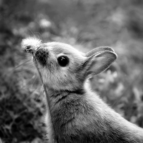 thegoldenhawk:  baby bunnies are adorable