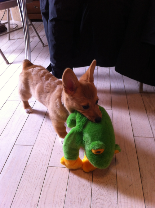 sawyercorgi:  Sawyer with a frog bigger than her.